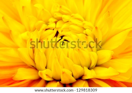 Beautiful Yellow Dahlia Close-up