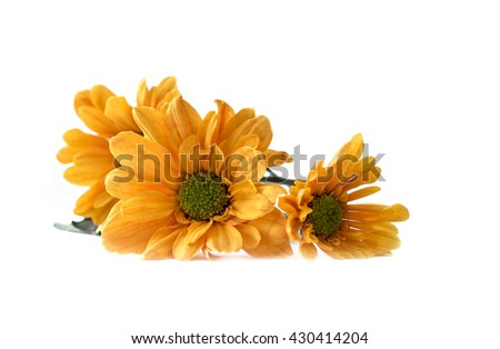 Beautiful yellow daisy flowers , Isolated on white background