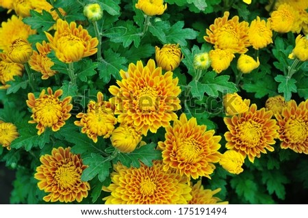 Beautiful yellow daisy flowers with green leaves - stock photo
