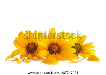 Beautiful yellow daisy on a white background