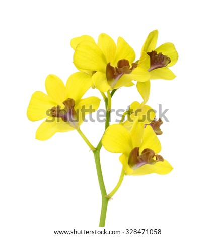 beautiful Yellow Dendrobium orchids flowers isolated on white background - stock photo