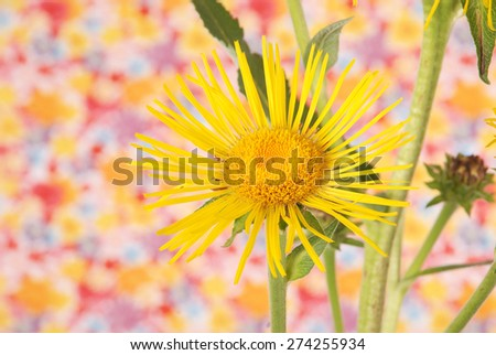 Beautiful yellow devyasil flower background. Natural color. - stock photo