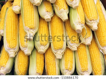 Beautiful yellow ears of corn as agricultural background - stock photo