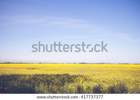 Beautiful yellow field and blue sky landscape