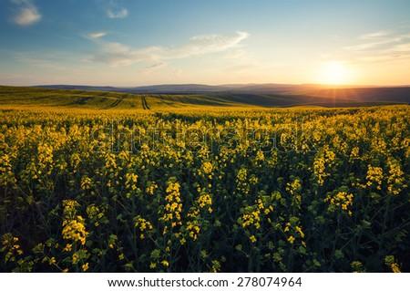 Beautiful yellow field sunny landscape - stock photo