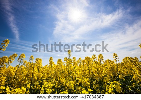 Beautiful yellow field with blue sunny sky