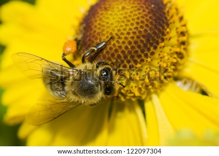 beautiful yellow flower and bee. Pollination.