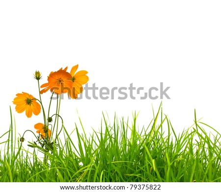 Beautiful yellow flower (Cosmos) and fresh spring green grass isolated on white background with copy-space.