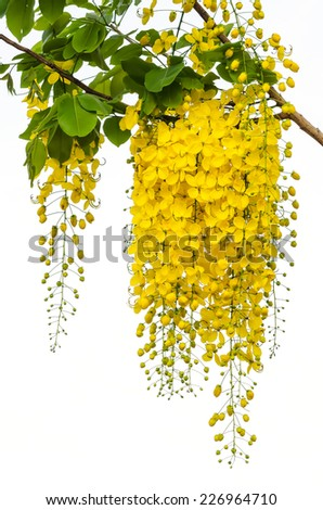 Beautiful yellow flower Golden shower (Cassia fistula) on tree - stock photo