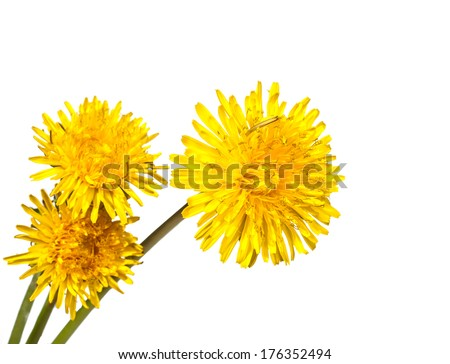 beautiful yellow flower of Dandelion isolated on white background - stock photo