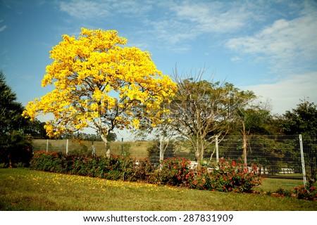 Beautiful yellowflowered tree pictured september sao stock photo beautiful yellow flowered tree pictured in september in sao paulo brazil mightylinksfo