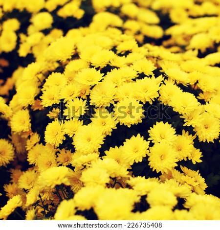 Beautiful yellow flowers, chrysanthemum - stock photo