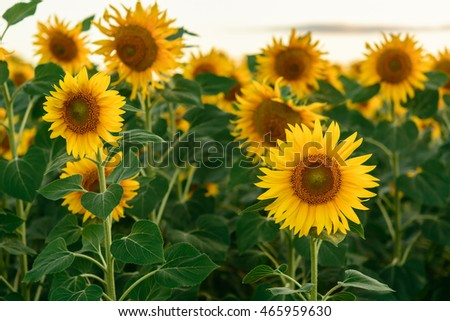 Beautiful yellow flowers of a sunflower on the green stems. In field.
