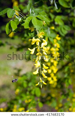 Beautiful yellow flowers of acacia to which the bee flies - stock photo