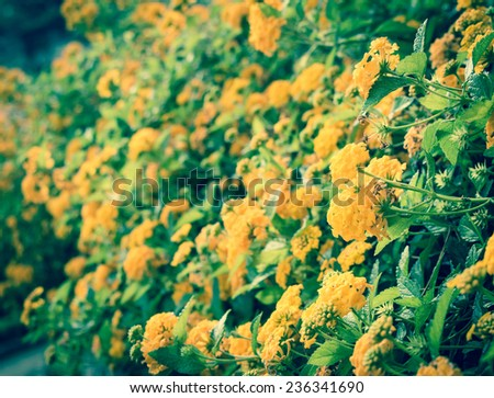 Beautiful yellow flowers on an old stone wall as a background. Retro style effect