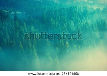 Beautiful yellow fog in a Carpathian misty forest - stock photo