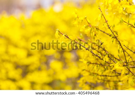 Beautiful yellow forsythia flowers. Natural background of springtime flowers. - stock photo