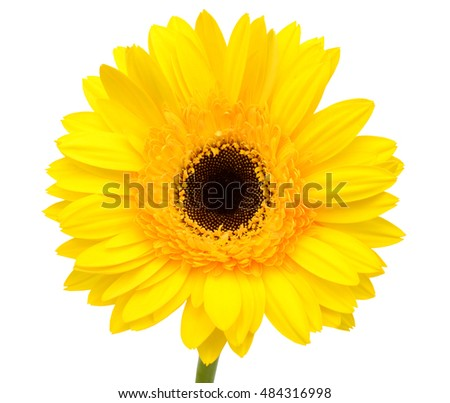 beautiful yellow gerbera flower isolated on white background