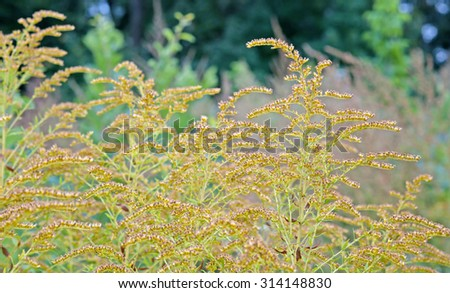 beautiful yellow goldenrod flowers blooming. Beautiful flowers of autumn - stock photo