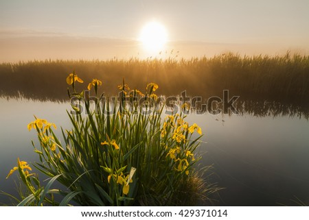 Beautiful yellow iris flowers in the rays of the dawn sun. - stock photo