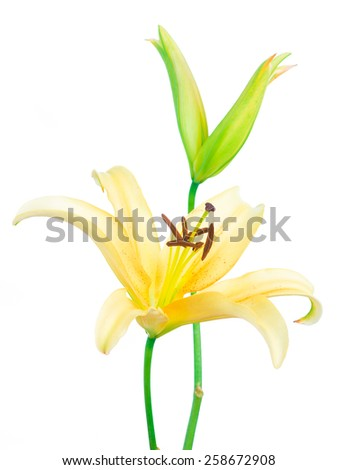 Beautiful yellow lilies on a white background