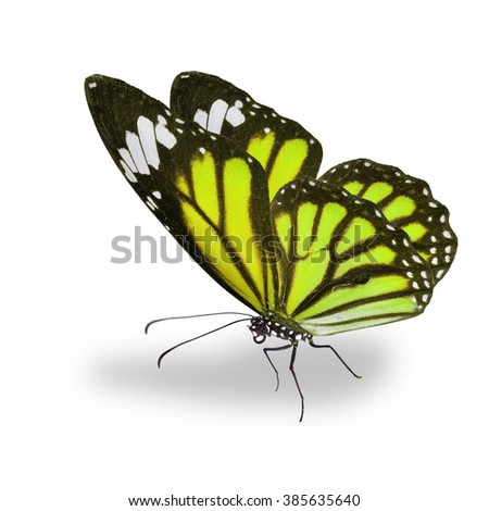 Beautiful yellow monarch butterfly isolated on white background