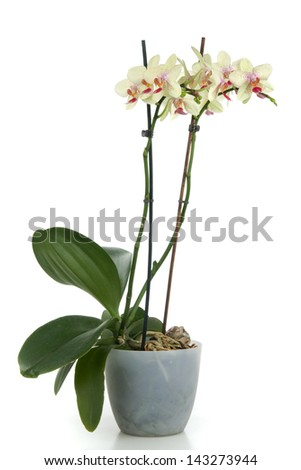 Beautiful yellow orchid in flower - pot on white background
