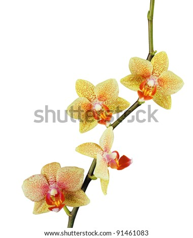 beautiful yellow orchid isolated on white background - stock photo