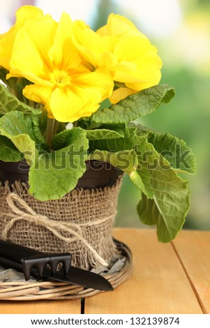 Beautiful yellow primula in flowerpot on wooden table close up - stock photo
