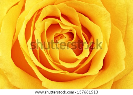 Beautiful yellow rose flower. ���¡loseup.