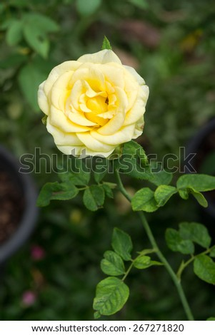 Beautiful Yellow Rose in a garden