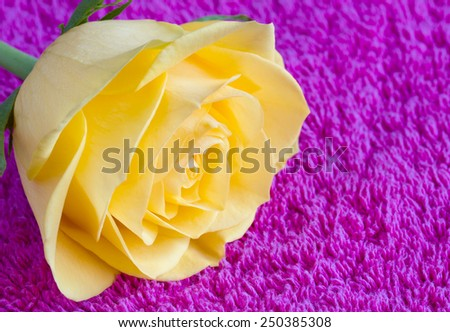 Beautiful yellow rose on a pink towel - stock photo