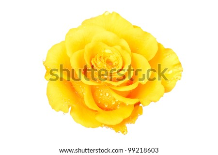 Beautiful yellow rose on a white background