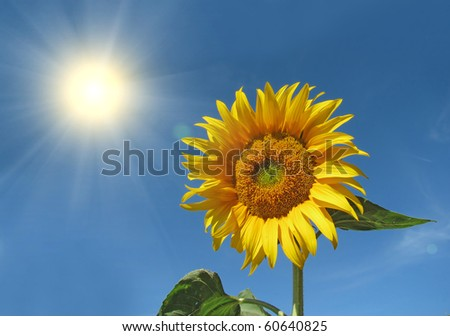 Beautiful yellow sunflower in the sun against blue sky - stock photo