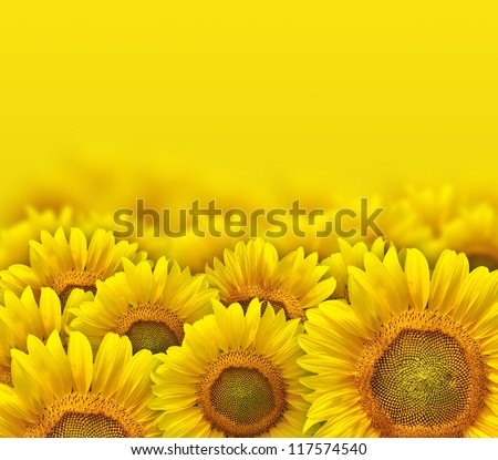 beautiful yellow sunflower petals - stock photo