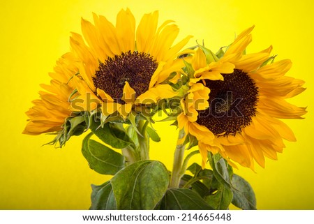 Beautiful yellow sunflowers on a color background - stock photo