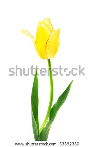 beautiful  yellow tulip isolated on white