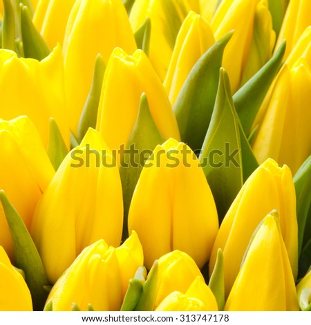 beautiful yellow tulips, big bouquet - stock photo