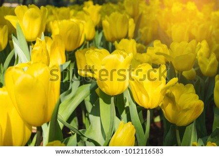 Beautiful yellow tulips in a floral garden . select focus and soft.