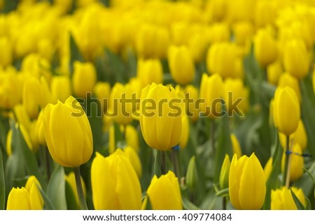 Beautiful Yellow Tulips in Spring background