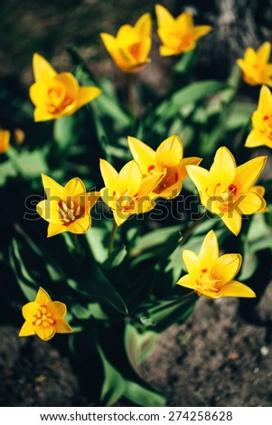 Beautiful yellow tulips on a sunny spring day - stock photo