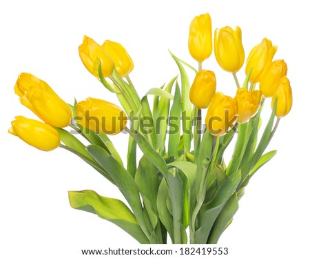 Beautiful yellow tulips on white background