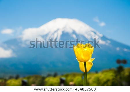 Beautiful yellow tulips with Mountain Fuji san as the background in Spring, Japan. - stock photo