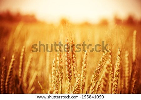 Beautiful yellow wheat field, autumnal nature, countryside, crop cultivation, dry rye stems, harvest season, healthy nutrition concept - stock photo