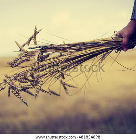 Beautiful yellow wheat field in vintage style, autumnal nature, countryside, crop cultivation, dry rye stems, harvest season, healthy nutrition concept