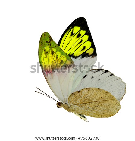 Beautiful yellow wing tip butterfly isolated on white background, magnificent nature