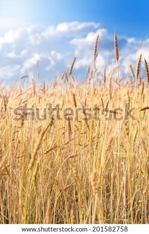 Beautiful yellow yields on blue background - stock photo