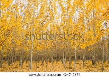 Beautiful yellowl autumn forest  - stock photo