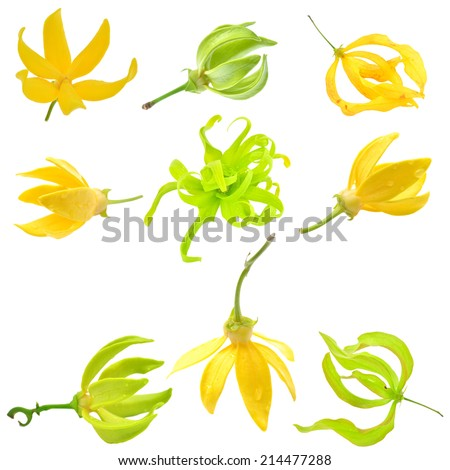 Beautiful Ylang-Ylang Flower on white background