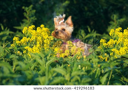 Beautiful Yorkshire Terrier Dog in a grass on  lawn with flowers
